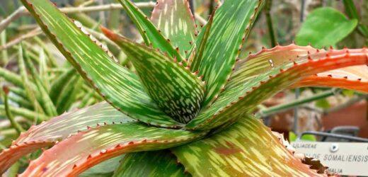 Aloes – właściwości lecznicze i pielęgnacja domowa